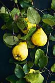 Fresh quinces on a twig