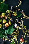 Frisch geerntete Brombeeren am Zweig