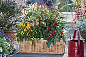Korbkasten mit Chili - Pflanzen : Salsa, Sombrero, Rainbow und Masquerade