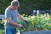Mann pflückt blaue Buschbohnen 'Purple Teepee' im Hochbeet