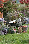 Herbstarbeiten im Garten: Hund Zula in Schubkarre am Beet mit Herbstastern