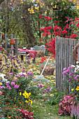 Herbstgarten mit Chrysanthemen, Liebesperlenstrauch, Fächerahorn