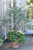 Olivenbaum mit Kapuzinerkresse im Terracotta - Kübel