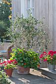 Olivenbaum mit Kapuzinerkresse im Terracotta - Kübel, Geranien 'Neon Purple'