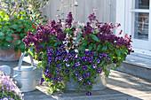 Stern-Petunie 'Blueberry Star', Feuersalbei Go-Go 'Purple' und Prachtkerze
