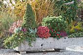Steintrog mit Koniferen, Chrysantheme, Heide und Skimmie