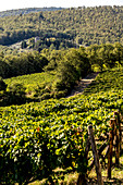 Nittardi vineyard, Tuscany, Italy
