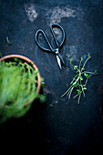 Fresh cress with a pair of herb scissors