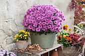 Herbstchrysantheme Dreamstar 'Cupido' mit Chili und Stiefmütterchen