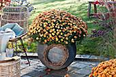 Herbstchrysantheme im grauen Kugeltopf, Kranz aus Ranken