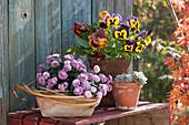 Topf Arrangement mit Herbstchrysantheme, Stiefmütterchen und Echeverie