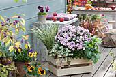 Herbst-Terrasse mit Chrysantheme, Stiefmütterchen, Zwergkalmus, Günsel