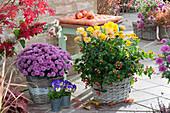 Körbe mit Herbstchrysanthemen und Johanniskraut Magic Marbles 'Pink'