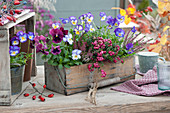 Holzkorb herbstlich bepflanzt mit Hornveilchen, Torfmyrte, Stiefmütterchen