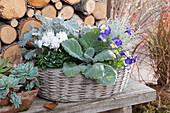 Korb mit silbergrauen Blattschmuckpflanzen und Alpenveilchen