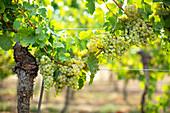 Weißweintrauben am Rebstock im Weinberg in der Pfalz