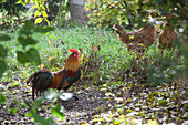 Hühner und Hahn im Garten