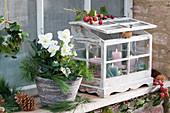 Christrose 'Wintergold' mit Zweigen von Kiefer und Mini-Gewächshaus mit Kerzen