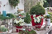 Weihnachts-Terrasse mit Christrosen, Zuckerhutfichte, Kerzen und Deko