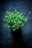 Lentil seedlings