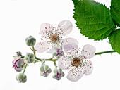 Brombeerblüten am Zweig