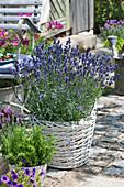 Lavendel 'Hidcote Blue' im weißen Korb