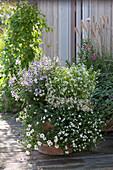 Zauberglöckchen, Schneeflockenblume, Zauberschnee und Engelsgesicht als Kombi