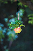 An apple with leaves hanging on a branch in a garden