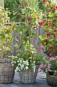 Balkon mit Himbeeren und roter Johannisbeere unterpflanzt mit Sommerblumen