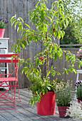 Pfirsichbaum 'Revita' mit Kräutern auf Balkon