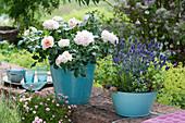 Rose 'Garden of Roses' und Lavendel 'Hidcote Blue' auf Gartenmauer