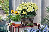 Chrysantheme 'Kiwhite' und Stiefmütterchen in Tassen