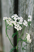 White flowering yarrow