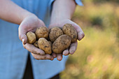 Hände halten frisch geerntete Kartoffeln