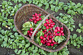 Freshly harvested and washed radishes in a basket