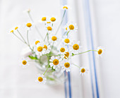 Chamomile in glass vase