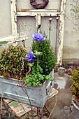 Violette Kronen-Anemone in Kasten mit Gehölzen