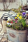 Jardiniere mit Tausendschön, Narzissen, Kronen-Anemone und Hornveilchen