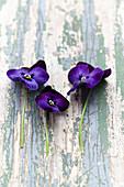 Violette Blüten von Stiefmütterchen