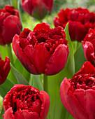 Tulipa 'Lion King'