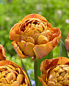 Tulipa 'Brownie'