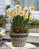 Narcissus 'Peach Swirl'