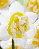 Narcissus '07-28'