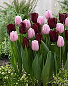 Tulipa 'Mascara' 'Pink Diamond'