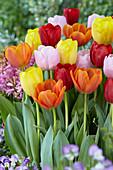 Triumph-Tulpen Mix