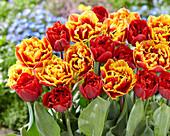 Tulipa 'Dutch Pioneer', 'Fiery Dream'