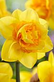 Narcissus '07-21'
