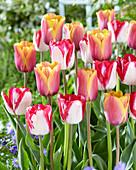 Tulipa 'Indian Summer' 'Just Kissed'