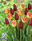 Tulipa 'Candy Corner' 'National Velvet'