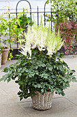 Astilbe chinensis 'Beach Party'